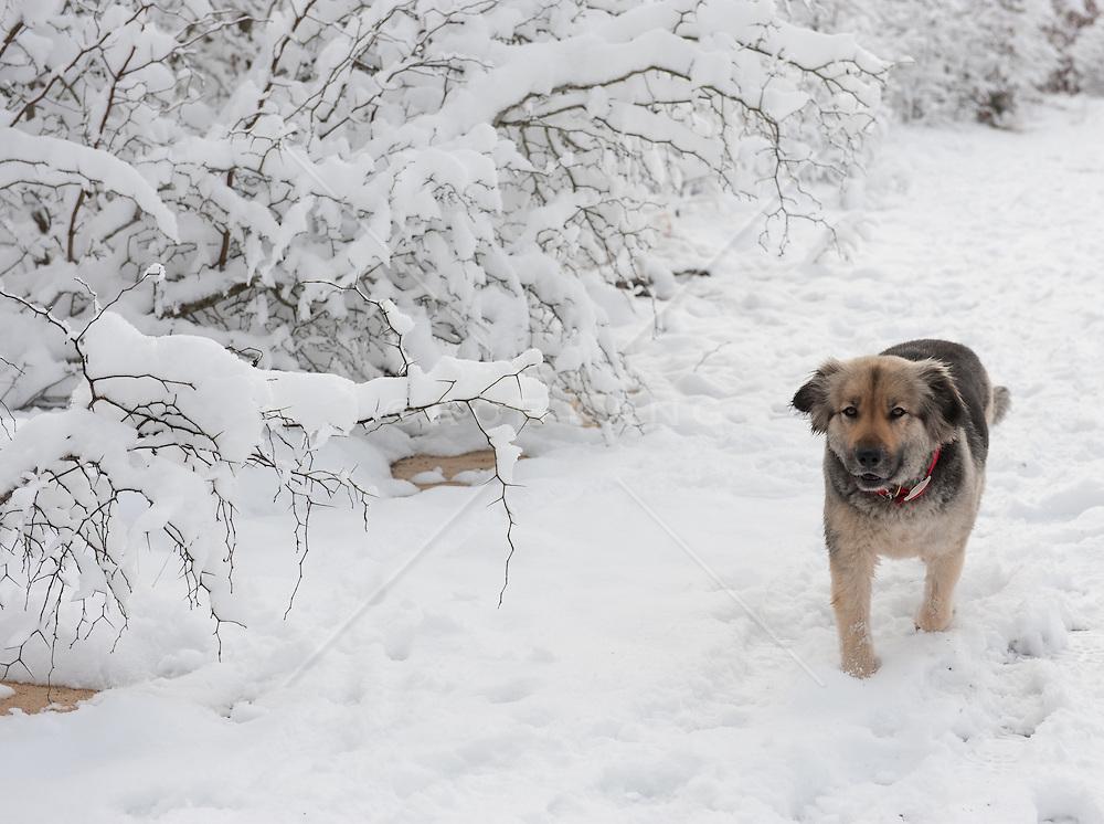 German Shepard Mix dog walking in the snow