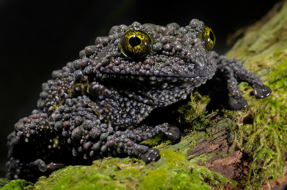 The Mossy Frog, Theloderma corticale, lives in karst zones of northern Vietnam.