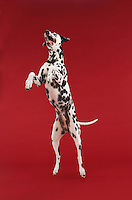 Dalmatian jumping mid-air