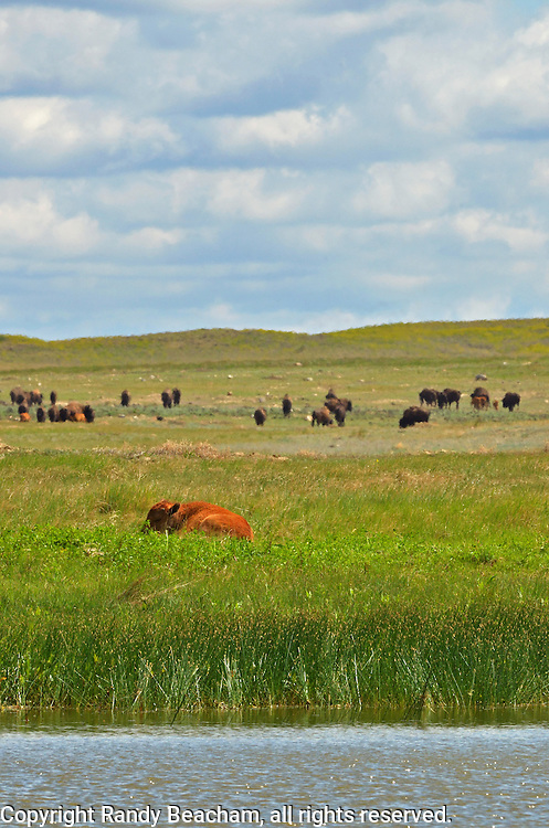 A bison calf rests by a wetland pond in the Great Plains of Montana at American Prairie Reserve. South of Malta in Phillips County, Montana.