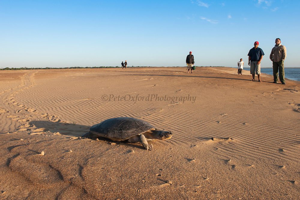Giant River Turtle (Podocnemis expansa) after laying eggs. CAPTIVE-REARING PROGRAM FOR REINTRODUCTION TO THE WILD<br /> CITES II      IUCN ENDANGERED (EN)<br /> Playita Beach, (mid) Orinoco River, 110 Km north of Puerto Ayacucho. Apure Province, VENEZUELA. South America. <br /> L average 90cm, Wgt 30-45kg. Largest fresh water river turtle in South America. Eggs round & 42mm. 90-100 per clutch. 6-8 weeks incubation.<br /> (This female measured:69cm curved carapace length & weighed:31kg and layed 121 eggs) Females come ashore to sun themselves for several days before laying to boost egg development.  They lay when the river is at its lowest. Herbacious and live in white or black water rivers moving into flooded forests of the Amazon during the wet season to feed on fallen seeds and fruit.<br /> RANGE: Amazonia, Llanos & Orinoco of Colombia, Venezuela, Brazil, Guianas, Ecuador, Peru & Bolivia.<br /> Project from Base Camp of the Protected area of the Giant River Turtle (& Podocnemis unifilis). (Refugio de Fauna Silvestre, Zona Protectora de Tortuga Arrau, RFSZPTA)<br /> Min. of Environment Camp which works in conjuction with the National Guard (Guardia Nacional) who help enforce wildlife laws and offer security to camp. From here the ministery co-ordinate with other local communities along the river to hand-rear turtles for the first year of their life and then release them. They pay a salary to a person in each community that participates in the project as well as providing all food etc. The turtles are protected by law and there is a ban on the use of fishing nets in the general area. During egg laying season staff sleep on the nesting beaches to monitor the nests.  All nests layed on low lying ground are relocated to an area not likely to flood. They are then surrounded by a net to catch all hatchlings who will then spend the first year of their life in captivity to increase their chances of survival. Biometric data is taken from any female they find that has layed 