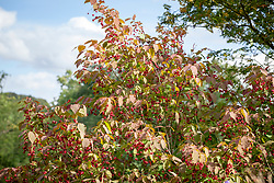 Euonymus planipes - Flat-stalked spindle tree syn. Euonymus sachalinensis misapplied