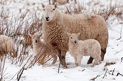 © Licensed to London News Pictures. 02/04/2018. Builth Wells, Powys, Wales, UK. Ewes and lambs stand in a wintry landscape at 350 metres above sea level on the Mynydd epynt range near builth Wells in Powys, Wales, UK. Photo credit: Graham M. Lawrence/LNP