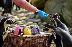 © Licensed to London News Pictures. 18/04/2019. LONDON, UK.  A keeper gives colourful papier-mâché eggs filled with tasty treats to Humboldt penguins at ZSL London Zoo in the run up to Easter.Photo credit: Stephen Chung/LNP