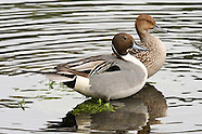 Northern Pintail photos