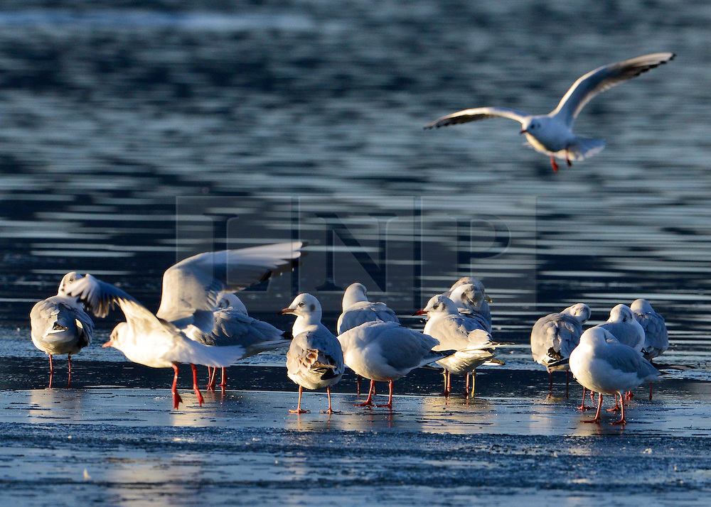 © Licensed to London News Pictures. 02/12/2012. Richmond, UK Birds stand on ice at the waters edge. Deer, joggers and dog walkers wake up to a golden frosty morning in Richmond Park, Surrey, today 2nd December 2012. Photo credit : Stephen Simpson/LNP