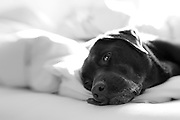 Black and white portrait of a Labrador lying on a bed. Knowing that human beds were out of bounds the dog has one eye open looking to see whether they will be removed from it.
