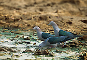 Sri Lankan Wildlife. Green Imperial Pigeon