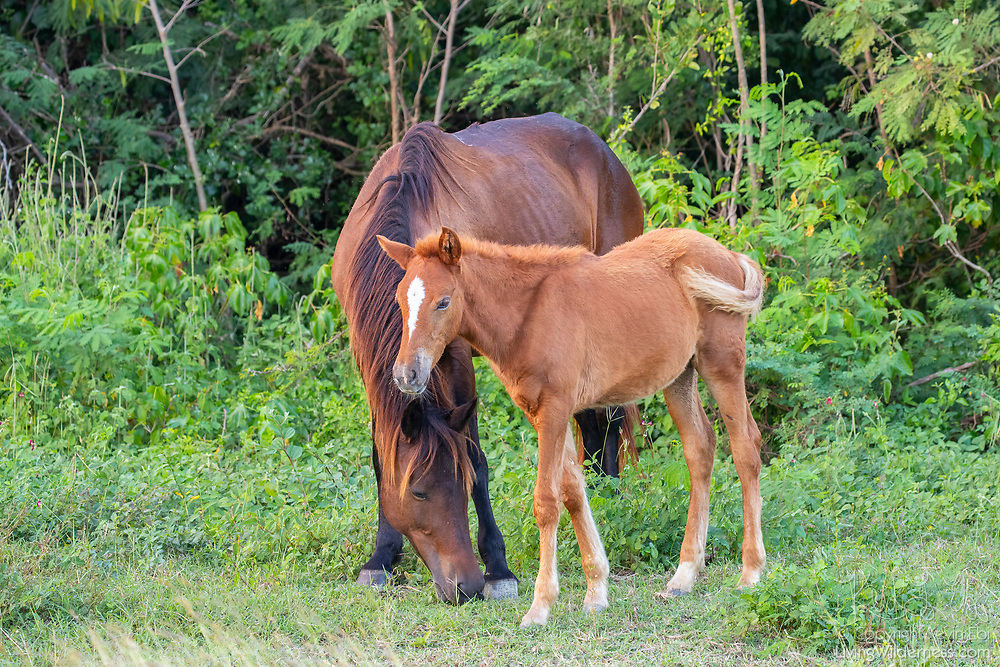 A horse and its foal graze in the Vieques National Wildlife Refuge on the Caribbean island of Vieques, Puerto Rico. About 2,000 horses live on the island. They are not technically wild. Most are owned by island residents, who let the horses roam free.