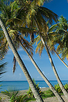 Los Bohios beach coconut palms