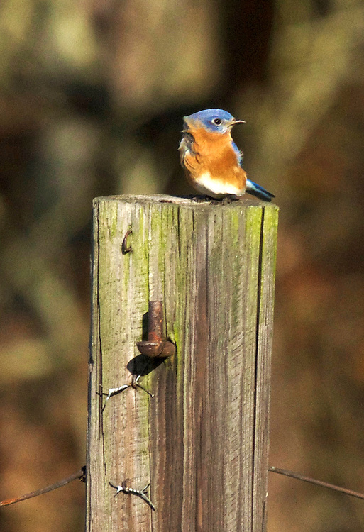 A male bluebird perched on a wooden fence post.  Their was big gust of wind which caused the bluebird's feathers to be ruffled.