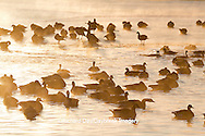 00748-05517 Canada Geese (Branta canadensis) flock on frozen lake,  Marion Co, IL