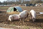 Outdoor pig farming sows in field, Shottisham, Suffolk, England, UK