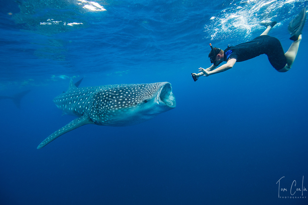 Whale Shark ~ Rhincodon typus ~ snorkeler ~ Isla Mujeres, Mexico ~ www.adventurequestX.com