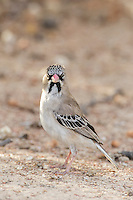 Scaly-Feather Finch, Kgalagadi Transfrontier Park, Northern Cape, South Africa