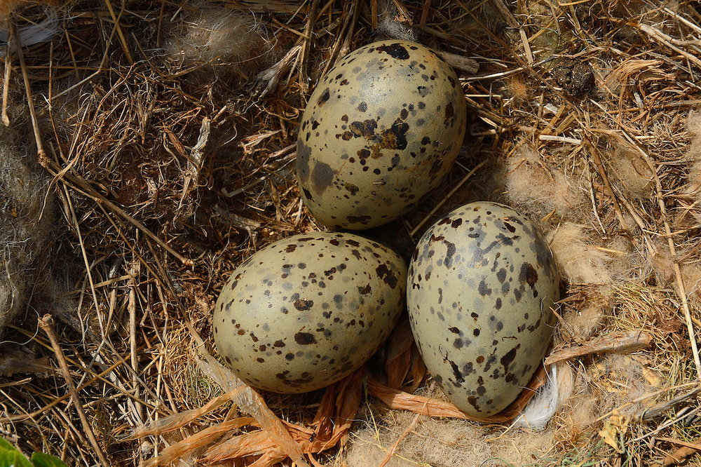Eggs and nest of Yellow-legged gull, Larus michahellis, Lagosta hunting concession, Velebit mountains Nature Park, Croatia