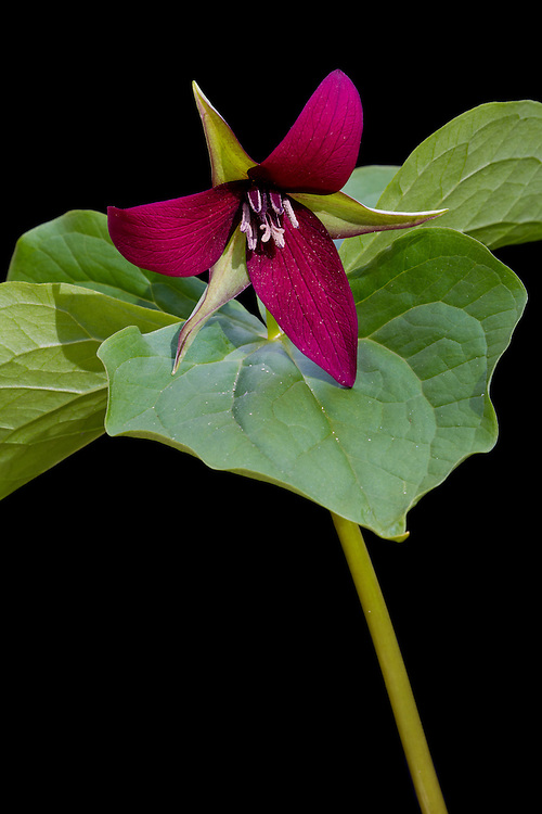 Close-up portrait of red trillium (Trillium erectum), Rockefeller State Park Preserve, Sleepy Hollow, NY.