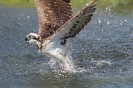 Osprey emerges from water with powerful wings, © 2015 David A. Ponton