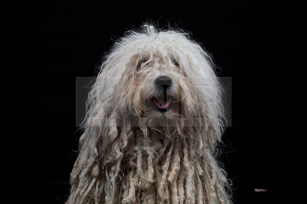 © Licensed to London News Pictures. 11/03/2016. Birmingham, UK. A Hungarian Puli named Dancer at Crufts 2016 held at the NEC in Birmingham, West Midlands, UK. The world's largest dog show, Crufts is this year celebrating it's 125th anniversary. The annual event is organised and hosted by the Kennel Club and has been running since 1891. Photo credit : Ian Hinchliffe/LNP
