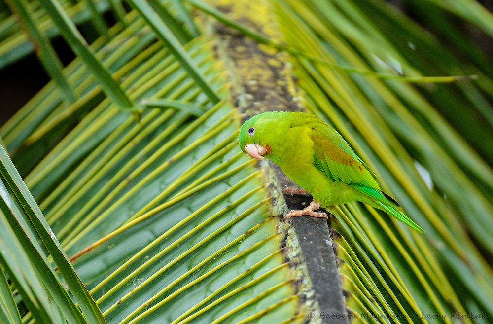 Orange-chinned Parakeet [Brotogeris jugularis]; Gamboa, Panama