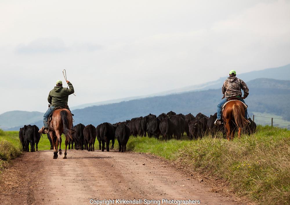 HI00395-00...HAWAI'I - The Parker Ranch crew moving cattle along the Waimea Mana Road on the island of Hawai'i.