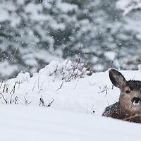 muldeer doe bedded in snow, fawn snowing, rocky mountains fir forest habitat