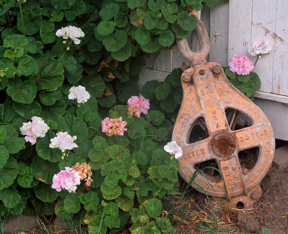 0603-3004 ~ Copyright: George H.H. Huey ~ Geraniums and historic pulley at Scorpion Ranch.  Santa Cruz Island, Channel Islands National Park, California.