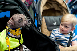 © Licensed to London News Pictures. 07/05/2016. London, UK. Mugly, a Chinese Crested and the world's ugliest dog 2012, meets a young admirer.  Mugly now works as a therapy dog.  Huge crowds of pet lovers visit The National Pet Show at the Excel centre.  Everything from dogs, cats, small furry animals to reptiles are on show for visitors to meet. Photo credit : Stephen Chung/LNP