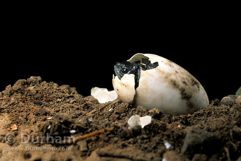 Western pond turtle (Clemmys marmorata) hatching out of its egg. Columbia River Gorge, Washington USA. Temporarily captive/controlled conditions. (3 0f 7)