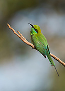 Green bee-eater (Merops orientalis) from Tadoba NP, India.