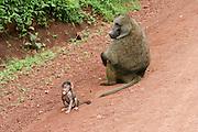 Africa, Tanzania, Serengeti nature reserve, Female Olive Baboon (Papio anubis) with baby