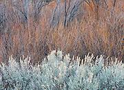 Willows and Sage along the Rio Grande River,New Mexico
