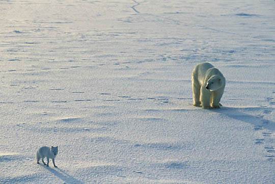 Polar Bear, (Ursus maritimus) Adult with arctic fox following and scavenging. Churchill, Manitoba. Canada.