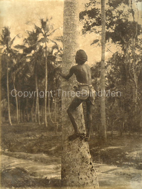 Man climbing coconut tree.<br /> Photograph by Skeen.