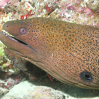 A Moray Eel on the Great Barrier Reef, Australia.