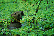 Capybara eating bamboo leaves - Amazonia, Peru.