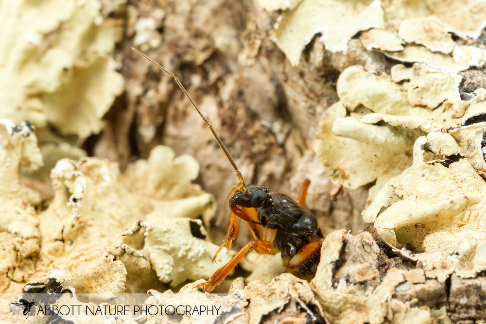 Assassin Bug (Rasahus hamatus)<br /> United States: Alabama: Tuscaloosa Co.<br /> Tulip Tree Springs off Echola Rd.; Elrod<br /> 12-Jun-2016<br /> J.C. Abbott #2831 &amp; K.K. Abbott