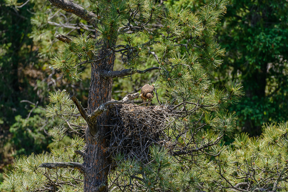 Red-tailed Hawk [Buteo jamaicensis] repositioning twig in nest; Raton Pass, CO