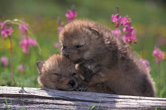Gray Wolf, (Canis lupus) Pups in wildlfowers. Montana.  Captive Animal.