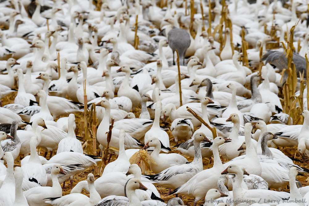 Snow Geese [Chen caerulescens] adult and juvenile feeding in cut corn field; Bosque del Apache NWR., NM
