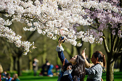 © Licensed to London News Pictures. 15/03/2017. London, UK. A woman takes a picture of cherry blossom, while relaxing in the warm sunshine at Lunch time in St James's Park , central London on a bright spring day. Photo credit: Ben Cawthra/LNP