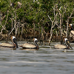 Brown Pelicans are seen in the water near the banks of Cat Island off the coast of Louisiana on Thursday, June 17 2010. Oil from the Deepwater Horizon spill continues to impact areas across the coast of gulf states.