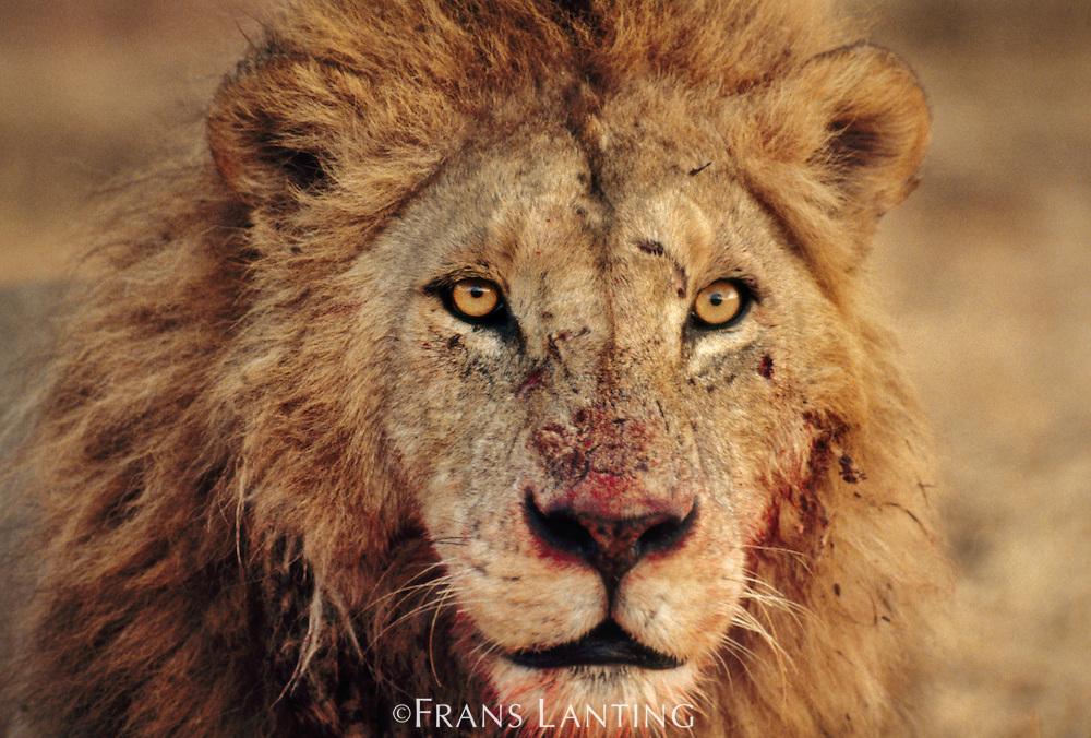 Lion with bloody face, Panthera leo, Masai Mara Reserve, Kenya