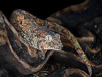 Mossy Gecko (Rhacodactylus chahoua)
