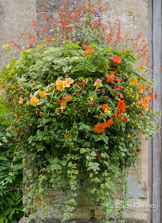 Begonias in a basket hanging on a wall at Bourton House Garden, Bourton-on-the-Water, Moreton-in-Marsh, Gloucestershire, UK