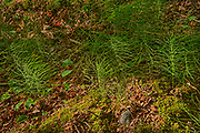 Horsetails (Equisetum sp) on forest floor<br />Sioux Narrows Provincial Park<br />Ontario<br />Canada