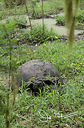 A Galapagos Giant tortoise rests in the Santa Cruz highlands.
