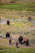 Bison, or American buffalo, near the Yellowstone River, between Tower Junction and Lamar Valley, Yellowstone National Park, Wyoming. There's around 3,700 bison the park, of the Plains Bison subspecies. Yellowstone may be the only place where bison have not been hunted out of existence,  although the population plummeted due to poaching at the turn of the 20th century.   The population is still under threat - when they roam outside the park boundaries, and from claims that they transmit disease such as brucellosis to  cattle.