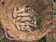 21 JANUARY 2016 - NONG YA KHAO, NAKHON RATCHASIMA, THAILAND: Harvested cassava in a basket in a field in Nakhon Ratchasima province of Thailand. Cassava, a drought resistant root vegetable, is one of the vegetables the Thai government is encouraging farmers to grow instead of rice and other more water dependent crops. Thailand is the world's leading exporter of dried cassava flakes.  The drought gripping Thailand was not broken during the rainy season. Because of the Pacific El Nino weather pattern, the rainy season was lighter than usual and many communities in Thailand, especially in northeastern and central Thailand, are still in drought like conditions. Some communities, like Si Liam, in Buri Ram, are running out of water for domestic consumption and residents are traveling miles every day to get water or they buy to from water trucks that occasionally come to the community. The Thai government has told farmers that can't plant a second rice crop (Thai farmers usually get two rice crops a year from their paddies). The government is also considering diverting water from the Mekong and Salaween Rivers, on Thailand's borders to meet domestic needs but Thailand's downstream neighbors object to that because it could leave them short of water.      PHOTO BY JACK KURTZ