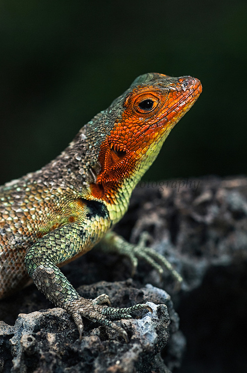 Lava Lizard female (Microlophus albemarlensis)<br /> Puerto Ayora, Santa Cruz Island, GALAPAGOS ISLANDS<br /> ECUADOR.  South America